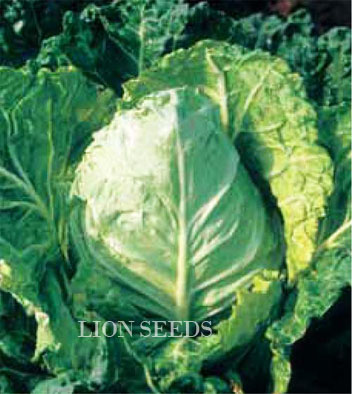 Cabbage – BURBUDA