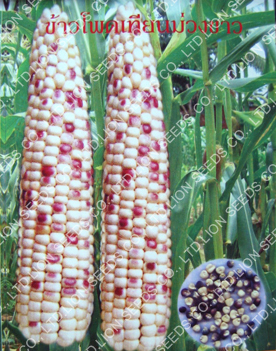 Purple-White Waxy Corn