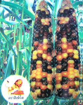 Purple-Yellow Waxy Corn