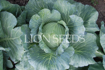Cabbage – CABBAGE KING