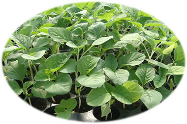 Green Amaranth White Stem Organic
