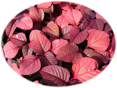 Red Amaranth Organic