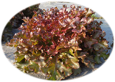 Red Salad Bowl Organic